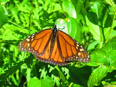 IMG_7198 6-15-2019 (PGK88) Tags: butterfly monarch monarchbutterfly insect animal wildlife nature closeup outdoors green wings beautiful 2019