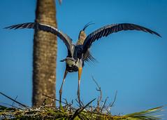 viera_fb_012817-40 (ccgrin) Tags: 2017 avian bird fishingbird florida greatblueheron heron heronfamily melbourne shorebird vierawetlands wadingbird waterareas waterbird watermanagementareas