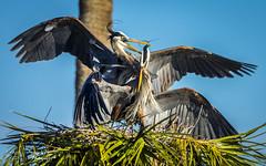 viera_fb_012817-35 (ccgrin) Tags: 2017 avian bird fishingbird florida greatblueheron heron heronfamily melbourne shorebird vierawetlands wadingbird waterareas waterbird watermanagementareas