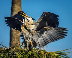 viera_fb_012817-33 (ccgrin) Tags: 2017 avian bird fishingbird florida greatblueheron heron heronfamily melbourne shorebird vierawetlands wadingbird waterareas waterbird watermanagementareas