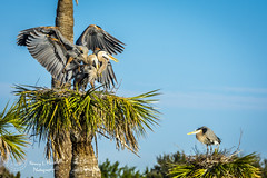 viera_fb_012817-31 (ccgrin) Tags: 2017 avian bird fishingbird florida greatblueheron heron heronfamily melbourne shorebird vierawetlands wadingbird waterareas waterbird watermanagementareas