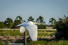viera_fb_012817-24 (ccgrin) Tags: 2017 avian bird egret fishingbird florida greatwhiteegret heronfamily melbourne shorebird vierawetlands wadingbird waterareas waterbird watermanagementareas