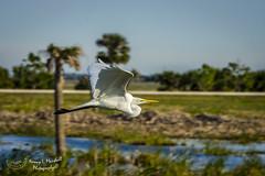 viera_fb_012817-23 (ccgrin) Tags: 2017 avian bird egret fishingbird florida greatwhiteegret heronfamily melbourne shorebird vierawetlands wadingbird waterareas waterbird watermanagementareas