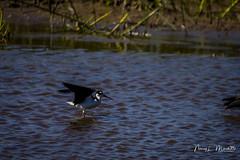 viera_fb_050617-3 (ccgrin) Tags: avian avocetstiltfamily bird blackneckedstilt florida melbourne shorebird vierawetlands waterareas watermanagementareas