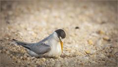 The Wait (degroomer1968) Tags: birds shorebird nature wildlife animal