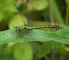 Rusty Snaketail (Ophiogomphus rupinsulensis) Dragonfly - Male (daveumich) Tags: dragonfly dragonflies michigandragonflies michiganodonata odonata riverbendnaturalarea