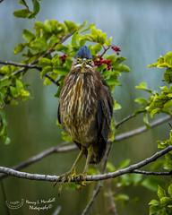 viera_fb_012817-133 (ccgrin) Tags: 2017 avian bird fishingbird florida greenheron heron heronfamily melbourne shorebird vierawetlands wadingbird waterareas waterbird watermanagementareas
