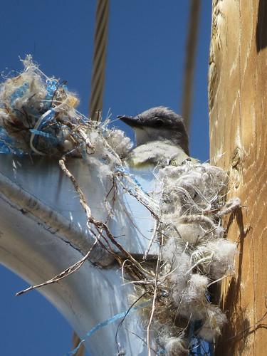Western Kingbird on the nest