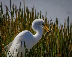 viera_fb_012817-75 (ccgrin) Tags: 2017 avian bird egret fishingbird florida greatwhiteegret heronfamily melbourne shorebird vierawetlands wadingbird waterareas waterbird watermanagementareas