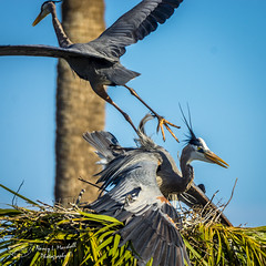 viera_fb_012817-37 (ccgrin) Tags: 2017 avian bird fishingbird florida greatblueheron heron heronfamily melbourne shorebird vierawetlands wadingbird waterareas waterbird watermanagementareas