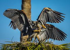 viera_fb_012817-36 (ccgrin) Tags: 2017 avian bird fishingbird florida greatblueheron heron heronfamily melbourne shorebird vierawetlands wadingbird waterareas waterbird watermanagementareas