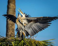 viera_fb_012817-32 (ccgrin) Tags: 2017 avian bird fishingbird florida greatblueheron heron heronfamily melbourne shorebird vierawetlands wadingbird waterareas waterbird watermanagementareas