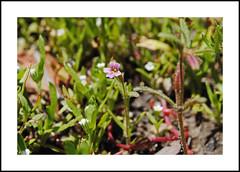 Shirley Meadows Wildflowers (AussieinUSA) Tags: california kerncounty rancheriard shirleymeadowssnowpark erythranthebreweri brewersmonkeyflower 2019wildflowers 2019 wildflowers