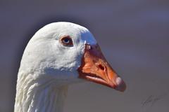 Duck (cjarahertel) Tags: pato duck nikon nikonchile nikonphoyography nikoneurope nikonusa nikonfrance otoño valparaiso valpo viña mar viñadelmar nikonviña naturaleza nature