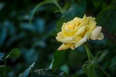 Rosa Amarilla (Edgar.Omar) Tags: m39 spiratone135mm28sankor spiratonesankor13528 pentax k50 flower rose rosa flor 135mm yellow pink nature outdoors