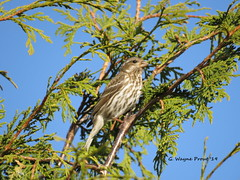Purple Finch (Carpodacus purpureus)(Female) (Gerald (Wayne) Prout) Tags: purplefinch carpodacuspurpureus animalia chordata aves passeriformes fringillidae carpodacus purpureus purple finch finches birds bird animal fauna animals perchingbirds songbirds wildlife nature mybackyard mountjoytownship cityoftimmins northeasternontario ontario canada prout geraldwayneprout canon canonpowershotsx60hs digital camera photographed photography backyard mountjoy township city timmins northeastern northernontario cedar melrosegardens