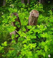 P6151958-Pano-2-Pano (Kuweba) Tags: wood stumps green leaves nature summer