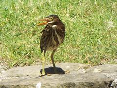 Green Heron, Bethany Lakes Park, Allen, Texas, June 15, 2019 (gurdonark) Tags: bird birds wildlife green heron bethany lakes park allen texas