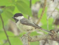 Carolina Chickadee, June 15, 2019, Suncreek Park, Allen, Texas (gurdonark) Tags: carolina chickadee bird birds wildlife suncreek park allen texas