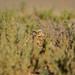 burrowing owl 6-15-19 2nd visit (1 of 1)