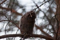 IMG_3640 PS1 (ernie229) Tags: longeared owl owlet