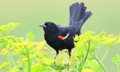 red-winged blackbird male at Cardinal Marsh IA 653A9729 (naturalist@winneshiekwild.com) Tags: redwinged blackbird male cardinal marsh winneshiek county iowa larry reis