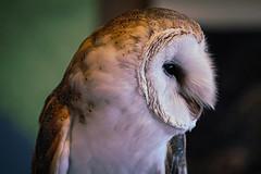 Barn Owl profile (sgnelson2) Tags: bird owl barnowl desert tucson arizona