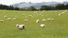 Fiordland National Park (witajny) Tags: animal animals farm 2018 travel newzealand nature southisland teanau naturephotography fiordlandnationalpark green grass sheep pasture loan