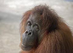 Seduku (Marie-Claire Demers) Tags: ape sarawak jungle orangutan mammal sanctury wild endangered rainforest palm oil semenggoh borneo pongo pygmaeus