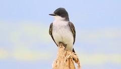 eastern kingbird at Cardinal Marsh IA 653A9638 (naturalist@winneshiekwild.com) Tags: eastern kingbird cardinal marsh winneshiek county iowa larry reis