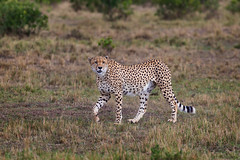 Mbili on a Mission (Xenedis) Tags: acinonyxjubatus africa afrika animal bigcat cat cheetah duma eastafrica grass kenya maasaimara maranorthconservancy mbili narokcounty plains republicofkenya riftvalley safari savannah wildlife sydney