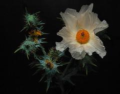 Prickly Poppy (Eric Gofreed) Tags: argemonepleicantha destwildflower pricklypoppy thistlepoppy wildflower