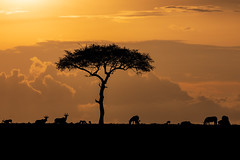 Sundowner (Xenedis) Tags: acacia acaciatree africa afrika animal antelope clouds eastafrica gamedrive kenya landscape maasaimara maranorthconservancy narokcounty republicofkenya riftvalley safari silhouette sunset topi tree zebra
