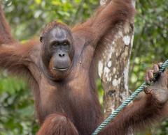 young male orangutan (Marie-Claire Demers) Tags: ape sarawak jungle orangutan mammal sanctury wild endangered rainforest palm oil semenggoh borneo pongo pygmaeus