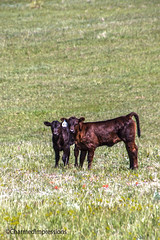 Freshly Born (Charmed Impressions) Tags: colorado co cows calf farm animals black field pasture nose charmedimpressions 2019 newborn newlyhere babies two sweet calves fresh