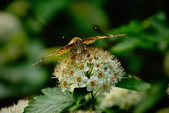 Butterfly (prokhorov.victor) Tags: бабочка насекомые цветок растения животные природа макро флора фауна лето