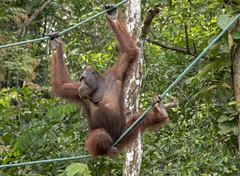 young male orangutan (Pongo pygmaeus) (Marie-Claire Demers) Tags: ape sarawak jungle orangutan mammal sanctury wild endangered rainforest palm oil semenggoh borneo pongo pygmaeus