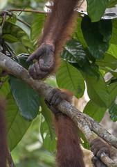 helping hand (Marie-Claire Demers) Tags: ape sarawak jungle orangutan mammal sanctury wild endangered rainforest palm oil semenggoh borneo pongo pygmaeus