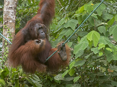 Alpha Male named Edwin (Marie-Claire Demers) Tags: ape sarawak jungle orangutan mammal sanctury wild endangered rainforest palm oil semenggoh borneo pongo pygmaeus