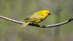 Yellow Warbler-0540 (Paul McGoveran) Tags: bird nature nikon500mmf4 nikond850 ontario peleenationalpark warbler