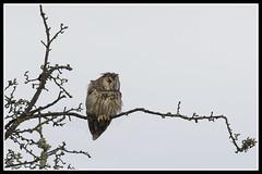 IMG_0005 Long-eared Owl (Scotchjohnnie) Tags: longearedowl asiootus owl ornithology bird birdphotography birdwatching birdofprey ukbirds wildlife wildlifephotography wildanimal wildandfree nature naturephotography canon canoneos canon7dmkii canonef100400f4556lisiiusm scotchjohnnie