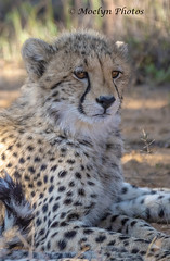 Cute Cheetah Cub at Rest (moelynphotos) Tags: cheetah cub cute feline bigcat animalwildlife younganimal oneanimal animalsinthewild spotted endangeredspecies atrest welgevondenprivategamereserve southafrica africa limpopoprovince lookingatcamera grass nature nopeople moelynphotos