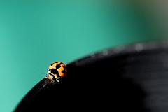 Ladybird On Lens Hood (justjimwilldo) Tags: bug insect ladybird ladybut spots red black green aqua cyan lens hood tamron nikon d500 200500mm macro