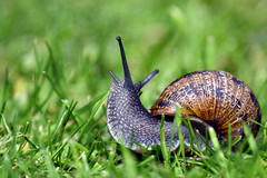 Cornu aspersum (the Common garden snail)  -  (Selected by GETTY IMAGES) (DESPITE STRAIGHT LINES) Tags: nikkorafp70300mmf4556e nikonafp70300mmfx nature mothernature naturalbeauty beauty kent landscape england sunlight nikon d850 nikond850 nikongp1 paulwilliams despitestraightlines flickr gettyimages morning getty gettyimagesesp despitestraightlinesatgettyimages snail gardensnail commongardensnail commongardensnailcornuaspersum cornuaspersum gastropod mollusc helicidae thecommongardensnailcornuaspersum cornuaspersumthecommongardensnail