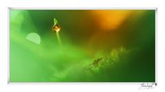 Perle (Alain Bayeul) Tags: perle mousse vert d500 nikon 150mm sigma eau rosée