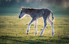 Let's flow, let's glide (Ingeborg Ruyken) Tags: ochtend 500pxs spring empel dawn lente natuurfotografie paard koornwaard horse konik