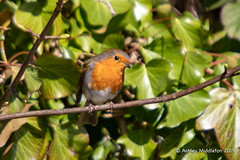 Robin (Ashley Middleton Photography) Tags: stroud animal aqueduct architecture bird building canal channel construction england europe gloucestershire robin stroudnavigation unitedkingdom