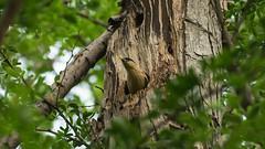 Home,Sweet Home. (DewanshuRoy) Tags: birding birdingindia birds dewanshuroy natgeoyourshot photowalk pictureishq sangam snapsaga starlings sturniapagodarum sturnidae wild wildlife