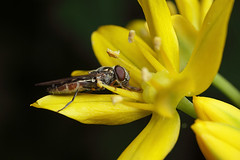 Hoverfly on allium flower #1 (Lord V) Tags: macro bug insect hoverfly