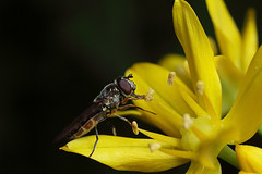 Hoverfly on allium flower #2 (Lord V) Tags: macro bug insect hoverfly